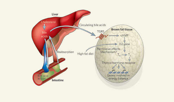 Pnxfoget on liver cholesterol production in the